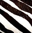 Cavallino zebrato